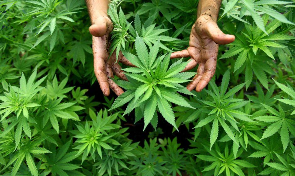 Pourquoi cultiver soi-même son cannabis ?